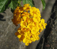 Yellow Cluster by HA91