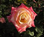 Sweet Rose by HA91
