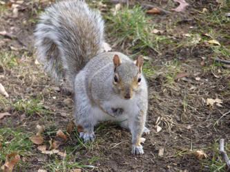 Squirrel by Rasylver