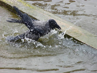 Hooded Crow 1 by Rasylver