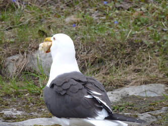 Hungry Seagull by Rasylver