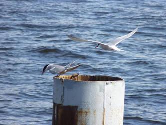 Terns by Rasylver