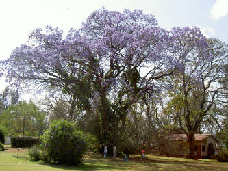 tree in africa by mobbing