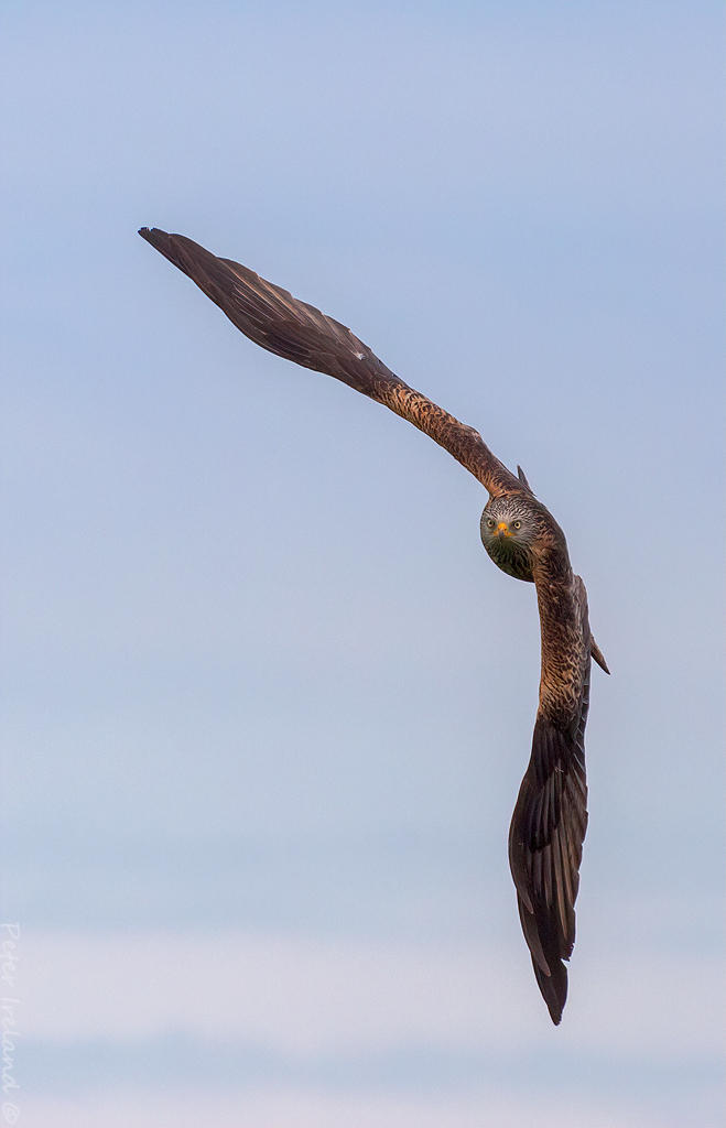 Red Kite by Pistolpete2007