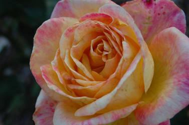 Rose Stock 1 by LovelyBStock