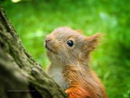 Baby squirrel by xartez