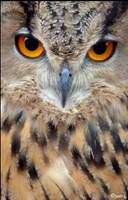 intense Eagle owl by Yair-Leibovich