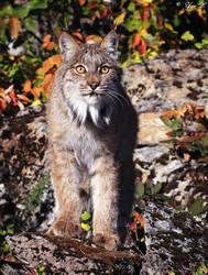 canadian lynx by Yair-Leibovich