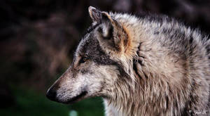Wolf Profile by Yair-Leibovich