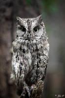 Scops owl by Yair-Leibovich