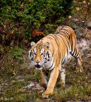 APPROACHING TIGER by Yair-Leibovich