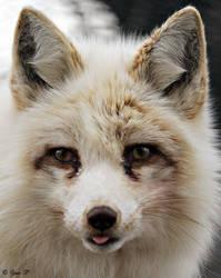 FOX by Yair-Leibovich