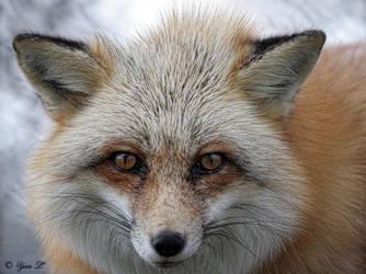 red fox v2 by Yair-Leibovich
