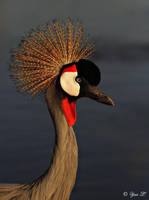 CROWNED CRANE by Yair-Leibovich