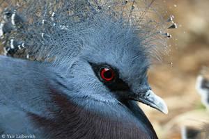 Crowned Pigeon 2 by Yair-Leibovich