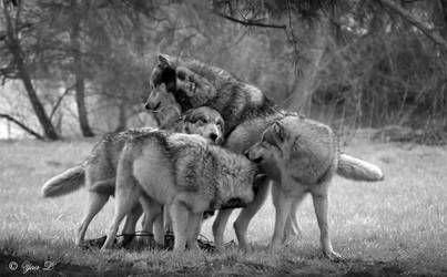 wolfpack by Yair-Leibovich