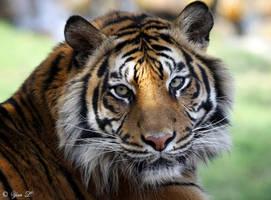 sumatran tiger by Yair-Leibovich