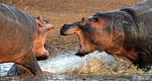 hippo aggression by Yair-Leibovich