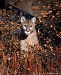 cougar 2 by Yair-Leibovich