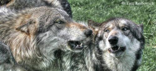 WOLF TALK by Yair-Leibovich