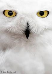 snowy owl by Yair-Leibovich