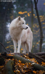 arctic wolf by Yair-Leibovich