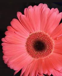 Pink Daisy by Jennifurret