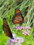 Orange Butterfly III by Jennifurret