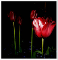 Tulip by JennieGraham