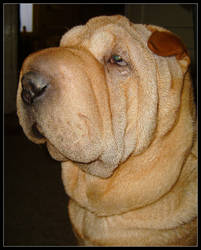 Glory of Sharpei by Nebulosity