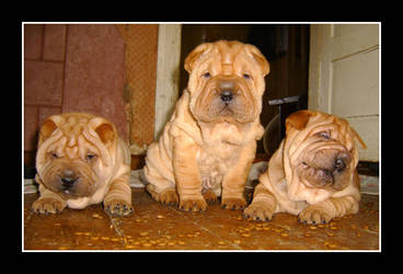 Sharpei triad by Nebulosity