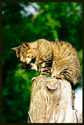 Tiger in that tree, look by Mintomay