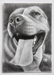 Pit bull by skippypoof