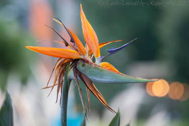 Bird of Paradise by EarthEmerald