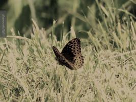 Butterfly by capturedbykc