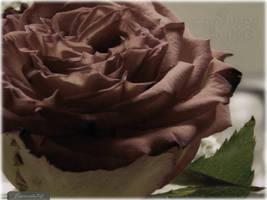 Sweet Rose by capturedbykc