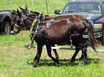 Mule Team Stock by ComatosePrincess