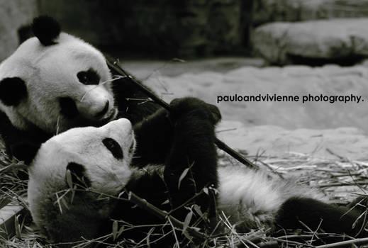 Big Panda in Love. by pauloandvivienne
