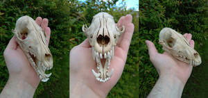 Fox Skull by JWBeyond