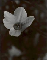 Daffodils in Mourning Longview by Korra