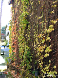 Vines on a wall by dreamsphoto