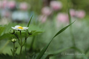 Flower of wild strawberry by CurrentlyLoading