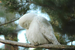Beautiful white owl by CurrentlyLoading