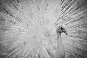 All white! by mnoruzi