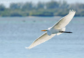 Great Egret by MadinkaClaireC