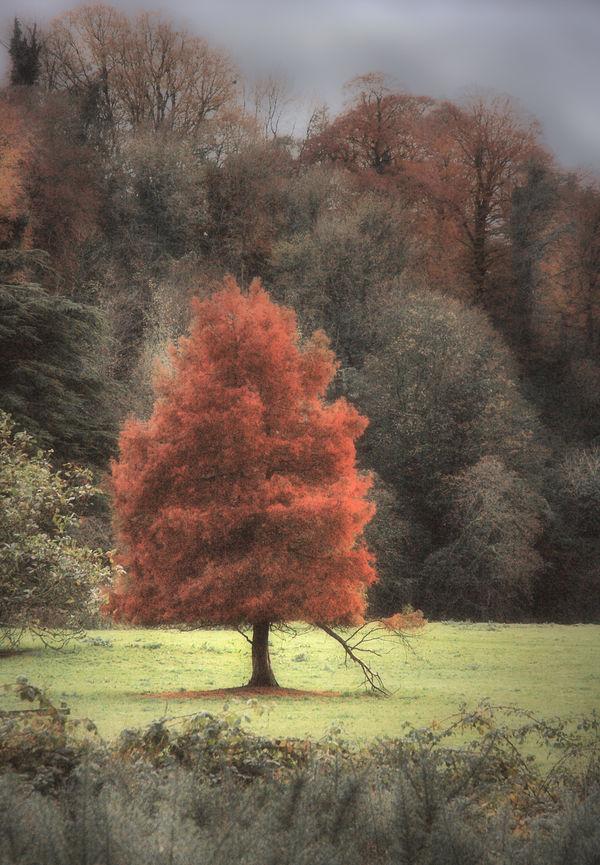 Red Tree by lornamacdonald