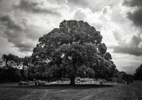 Camphire tree by lornamacdonald