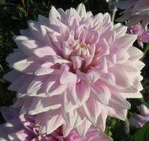 Pink Dahlia by ShipperTrish