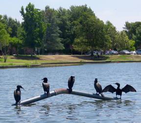 5 Cormorants by ShipperTrish