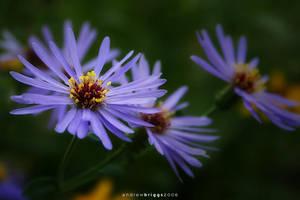 Flower 2 by cardinal
